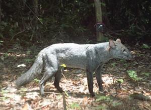 The rare Amazonian short-eared dog