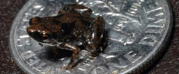 World's smallest frog discovered