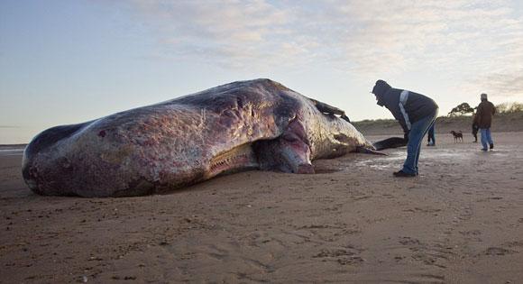 40ft Sperm Whale on Norfolk Beach