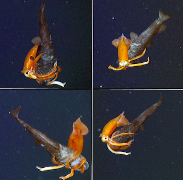 A squid and owlfish battle in Monterey Bay - Nov. 11, 2013. Credit: MBARI