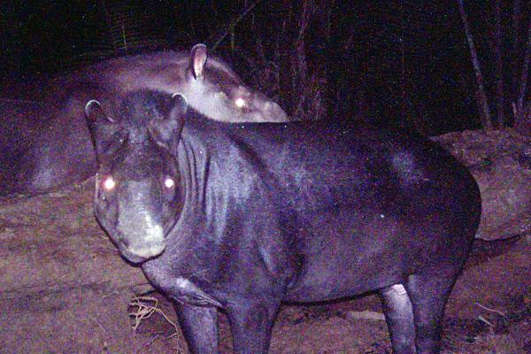 New tapir discovered in Brazil