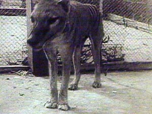 Tasmanian Tigers are said to be roaming the outskirts of Portland.