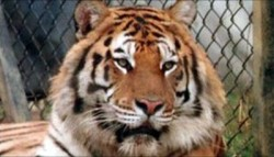 Tiger kills Lion in Turkish zoo